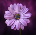 purple-flower-41