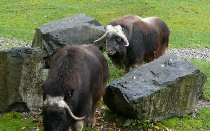 Never seen Muskox or OomingMak as they are called by others.